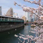 大岡川沿いの桜と横浜の運河